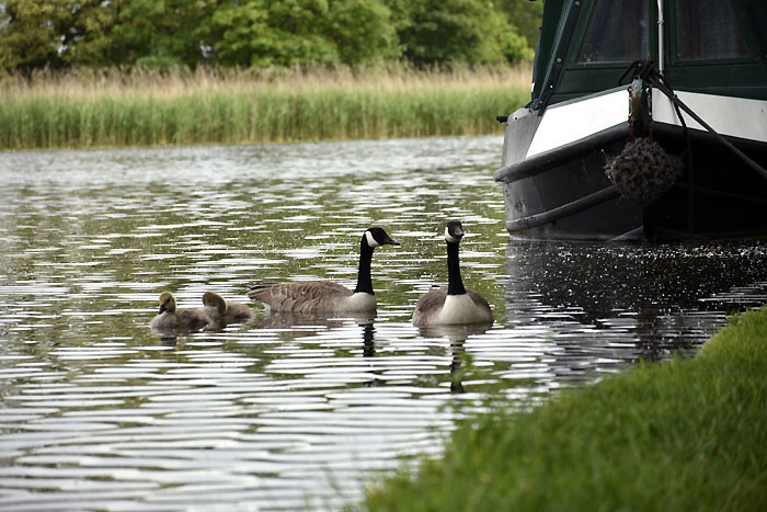 Canada geese on Tixall Wide - Staffs & Worcs Canal